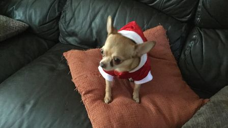 Chihuahua Hector in full Santa outfit. Picture: Kim Wright