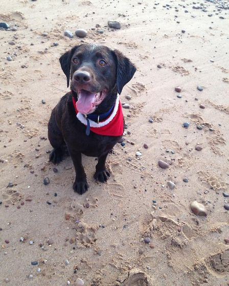 Chocolate Labrador George enjoying a walk on the beach with his Christmas scarf. Picture: Vivienne S