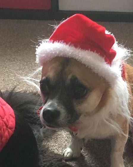 Daisy in her Santa hat. Picture: Pam Taylor