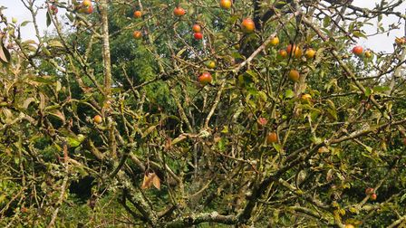 Apple trees at Knapp Nature Reserve orchard