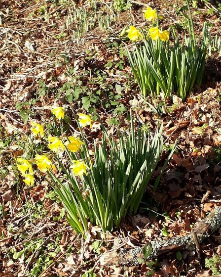 Early daffodils on the Sidmouth Golf Club bcourse. Picture MARIA CLAPP