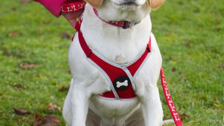 Maggie the 18 month old Beagle croos at ARC in Ottery. Ref shs 03 19TI 8541. Picture: Terry Ife