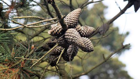 Serotinous cones that hang on to their seeds waiting for a bush fire. Picture: Ed Dolphin