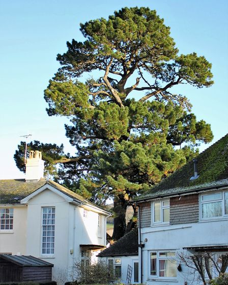 Monterey Pine 1440, Lymebourne Park. Picture: Ed Dolphin