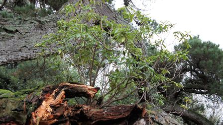 The epiphytic rhodendron that weakend the large branch. Picture: Ed Dolphin