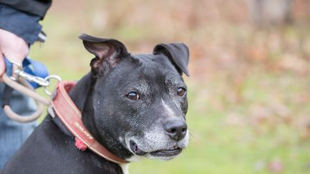 Gucci the Staffy at ARC. Ref shs 08 19TI 8927. Picture: Terry Ife