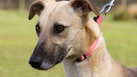 ARC dog Ivy the Lurcher. Ref shs 11 19TI 0765. Picture: Terry Ife