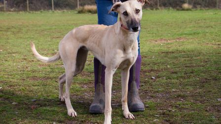 ARC dog Ivy the Lurcher. Ref shs 11 19TI 0756. Picture: Terry Ife