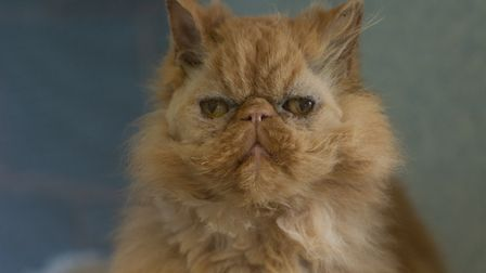 Dylan needs a home without children. Picture: Axhayes Cat Adoption Centre