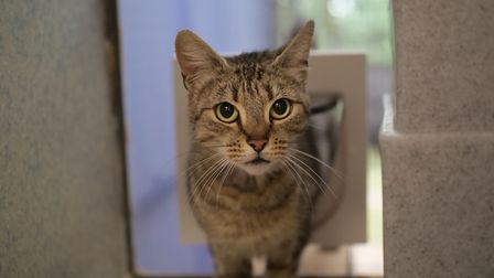 Lillie, a cat needing a special owner. Picture: Axhayes Adoption Centre