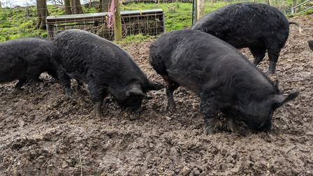 The pigs at Partridge Hill Farm. Picture: Sam Cooper