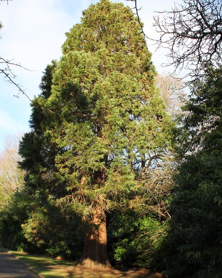 A giant redwood.