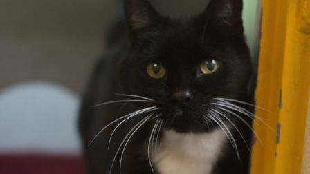 Reggie, friendly but independent. Picture: Axhayes Cat Adoption Centre