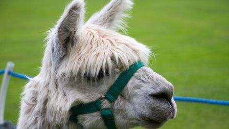 Sidbury cricket Alpaca fundraising event. Ref shs 18 19TI 3600. Picture: Terry Ife