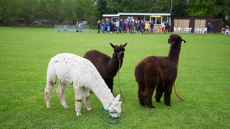 Sidbury cricket Alpaca fundraising event. Ref shs 18 19TI 3621. Picture: Terry Ife