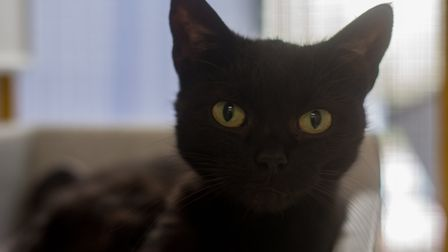 Coco, a cat needing a stress-free, loving home. Picture: Axhayes Adoption Centre
