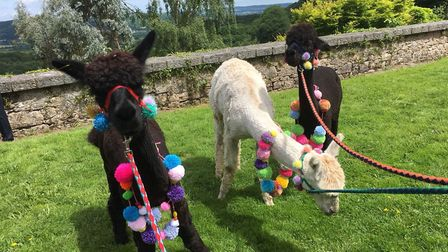 The alpaca trio will help to win one lucky guesser £250. Picture: Bearhouse Alpacas