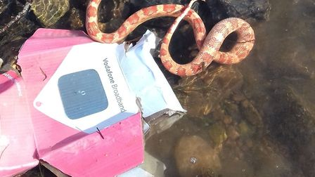 The snake that was found in the River Otter last year. Picture: RSPCA