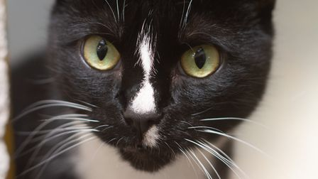 Rescue cat Oxana. Picture: Axhayes Adoption Centre
