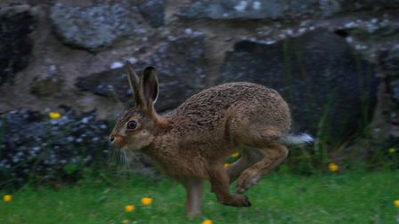 A brown hare on the run. Picture: Mark Taylor Hutchinson