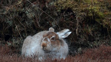 Keeping very still to not spook the mountain hare. Picture: Mark Taylor Hutchinson