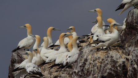 More northern gannets. Picture: Mark Taylor Hutchinson