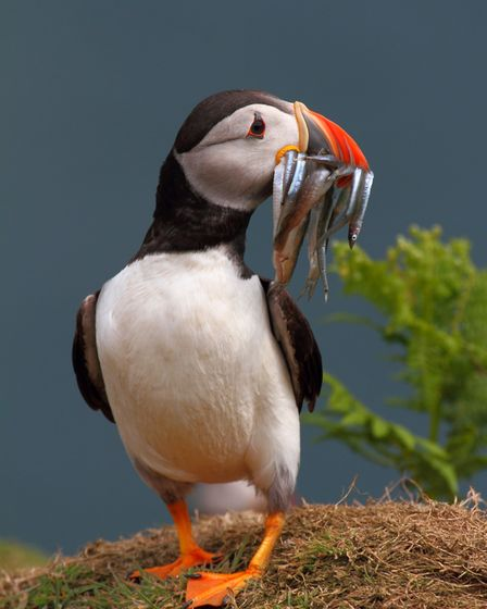 A puffin. Picture: Mark Taylor Hutchinson