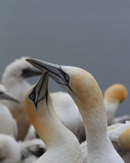 Northern gannets. Picture: Mark Taylor Hutchinson
