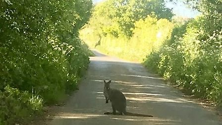 Libby Costa was in the car when she captured this image of the wallaby. Picture: Libby Costa