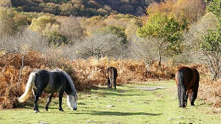 Ponies grazing on Dartmoor near Ashburton. Picture: Barbara Mellor