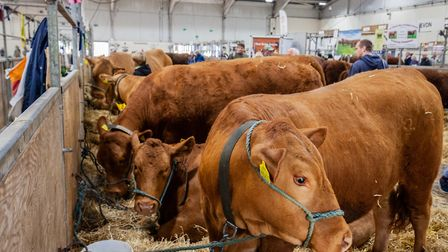 Fine Devon stock at the Devon County Show. Picture: Brian Westaway