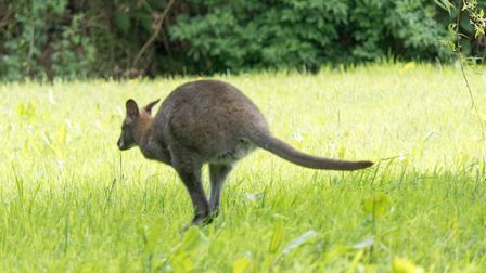 The wild Wallaby in Ottery. Ref sho 23 19TI 1020950. Picture: Terry Ife