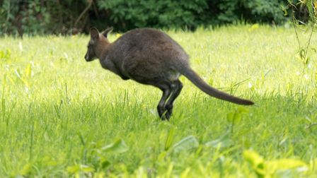 The wild Wallaby in Ottery. Ref sho 23 19TI 1020949. Picture: Terry Ife
