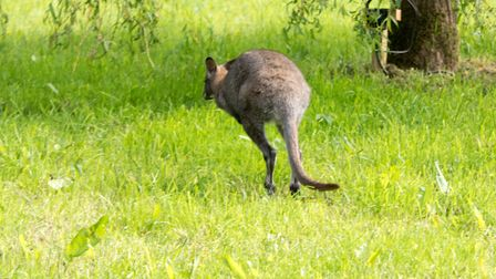 The wild Wallaby in Ottery. Ref sho 23 19TI 1020940. Picture: Terry Ife