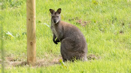The wild Wallaby in Ottery. Ref sho 23 19TI 1020936. Picture: Terry Ife