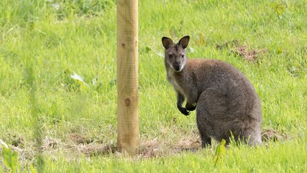 The wild Wallaby in Ottery. Ref sho 23 19TI 1020933. Picture: Terry Ife
