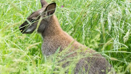 The wild Wallaby in Ottery. Ref sho 23 19TI 1020924. Picture: Terry Ife