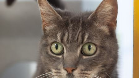 Cloud the cat. Picture: Axhayes Adoption Centre