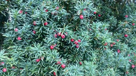 Yew cones with their red arils.