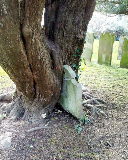 A gravestone entangled in one of the trees in Sidmouth Parish Churchyard. Ref shs 20 19TI 4729. Pict