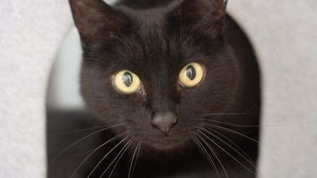 Denzel, a gentle, elderly cat needing a new home. Picture: Axhayes Adoption Centre