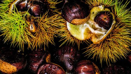 Ripe chestnuts bursting from their cupules
