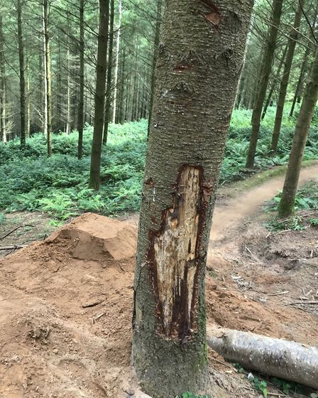 Bark was stipped from the trips in Haprford Wood. Picture: Kor Communication