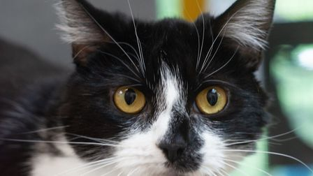 Lady needs a home with no other cats. Picture: Axhayes Adoption Centre