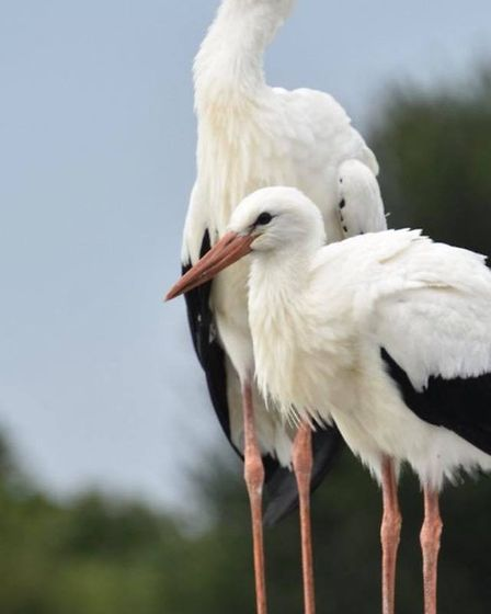 Storks from the Wild Zoological Park in Bobbington, Midlands. Picture: Wild Zoological Park