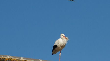 A stork on the roof at Lidls in Sidmouth. Ref shs 38 19TI 0708. Picture: Terry Ife