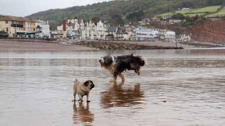 Doggy Dash on Sidmouth beach. Ref shs 40 19TI 1965. Picture: Terry Ife