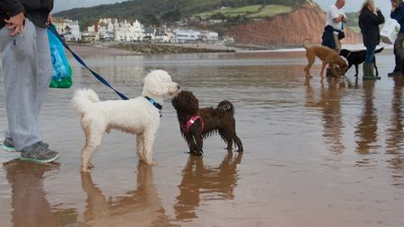 Doggy Dash on Sidmouth beach. Ref shs 40 19TI 1935. Picture: Terry Ife