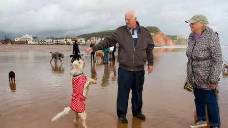 Doggy Dash on Sidmouth beach. Ref shs 40 19TI 1931. Picture: Terry Ife
