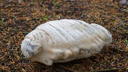 Pam Gordon-Lee's Mammoth tooth. Ref shs 15 19TI 2088. Picture: Terry Ife